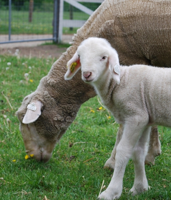 BENEFITS OF RAMBOUILLET MERINO WOOL